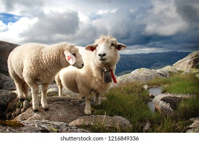 Two white sheep in the highlands in Norway.Kjerag mountain. Norway