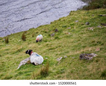 Two white sheep laying on a grass bay a lake, Connemara , Ireland. Concept livestock, agriculture, farming,