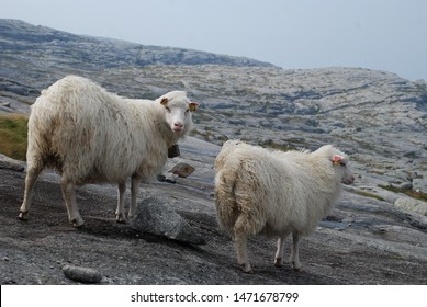 Two white sheep walking in the wind in the highlands in Norway. Kjerag mountain.