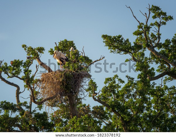 two white storks sleeping on their large messy nest made of sticks in the top of an oak tree the golden sunlight from the early morning sun on their feathers a clear blue sky in the background