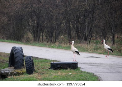 Two white storks stand on the rural road in Bulgaria