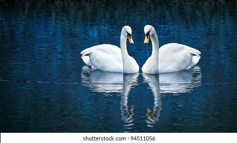 Two white swan in love forming