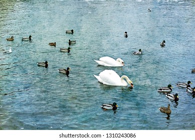 Two white swans and ducks on the river in early spring.