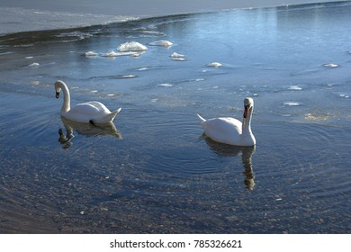 Two white swans floating on the Sea with beautiful Sunshine in the afternoon.