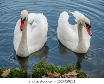 Two white swans heart water scene. White swans love scene. True love two swans