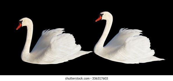 Two white swans isolated on the black surface.