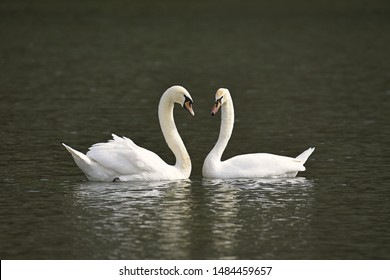Two white swans lover at a lake make a beautiful heart, swans making a heart, two swans trying to do heart thing, love