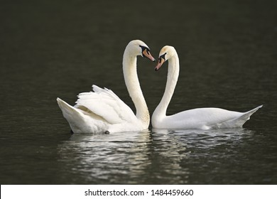 photo----two swans.