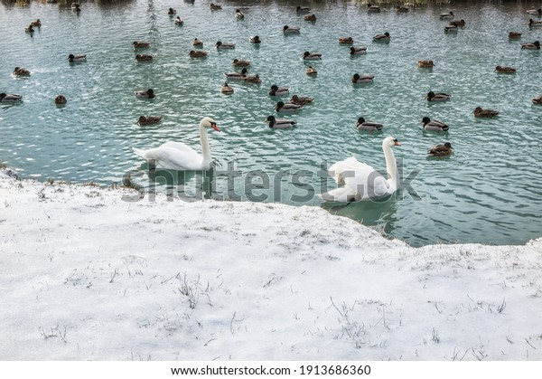 two-white-swans-many-mallard-600w-191368