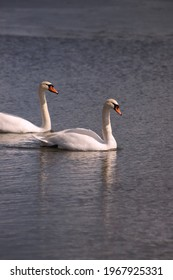 Two white swans swim on the lake