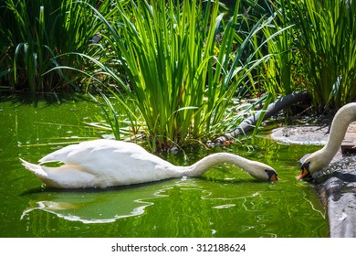 Two white swans swim in the pond, reeds green grass, eating