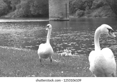 Two white swans are walking up a grassy bank, a cluster of cygnets behind them. Small flowers are in the grass, which runs down to a river with bushes and trees on the far side.