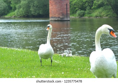 Two white swans are walking on a grassy river bank. Between them are a cluster of cygnets. Small white flowers are in the grass, and a brick pylon is in the river.
