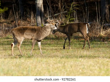 Two white tailed bucks checking each other out.