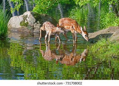 Two White Tailed Deer Fawns drink from clear waters.