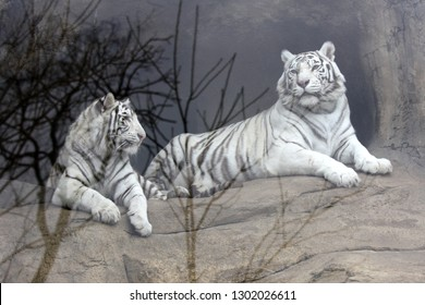 Two white tigers in the Moscow zoo in the aviary behind the glass