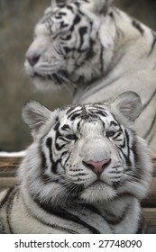 Two White Tigers Portrait Close Up