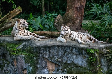 Two white tigers are resting on the rock on the trees background in the zoo in Singapore. Closeup photo. Horizontal.
