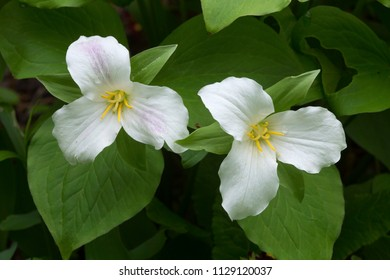 Two white trillium flowers, Trillium grandiflorum, in open woods of Newport, New Hampshire.