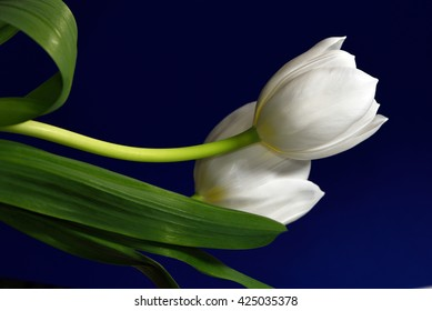 Two white tulips against a dark blue background.