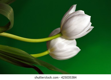 Two white tulips against an emerald-green background.