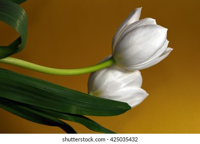 Two white tulips against a golden background.