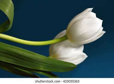 Two white tulips against a teal background.