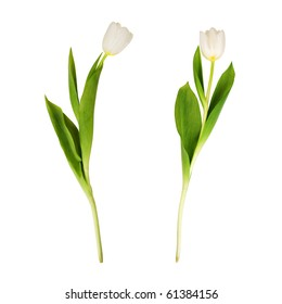 Two white tulips, on white background.