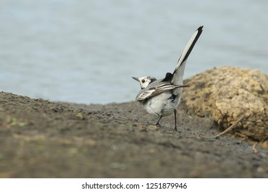 Two White Wagtail birds (Motacilla alba) fighting over territory. A bird with white, gray and black feathers. The White Wagtail is the national bird of Latvia.