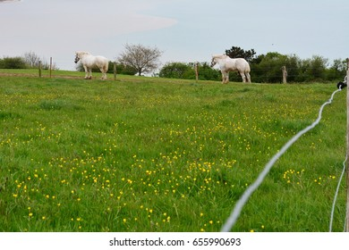 Two white working horses in green grassy paddock