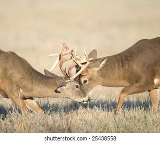 Two whitetail deer bucks spar in an open meadow at daybreak