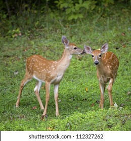 Two whitetail deer fawns out in the open near a forest