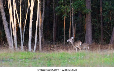 Two whitetail deer near a thick forest in North Carolina