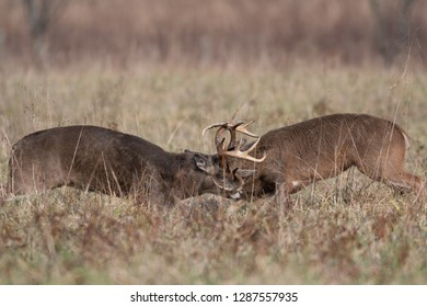 two white-tailed deer bucks sparring and fighting in an open meadow in Smoky Mountains National Park