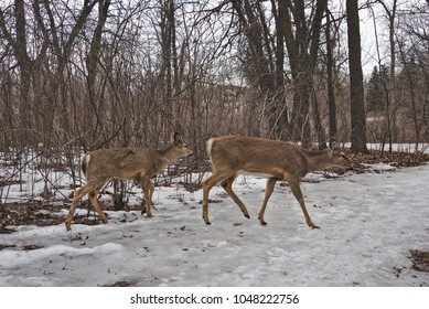 Two whitetailed deer crossing a snowy path in a forest