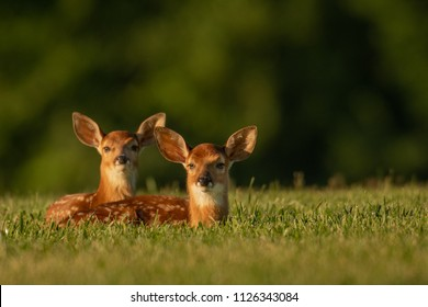 Two white-tailed deer fawns bedded down in an open field in summer