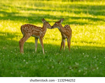 Two white-tailed deer fawns nose to nose in an open meadow on a summer morning