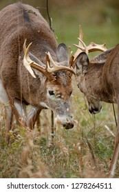 Two white-tailed deer fighting