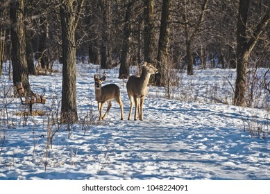 Two white-tailed deer standing on a snowy path in a forest. One of them looks in the direction of the camera.
