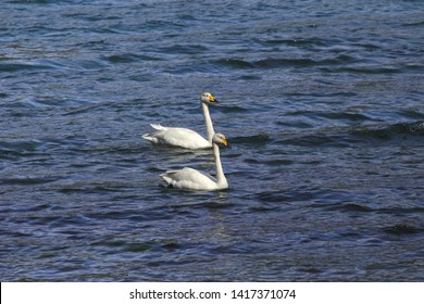 Two Whooper Swans  (cygnus cygnus)