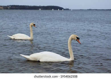Two whooper swans (Cygnus cygnus) also known as the common swans or the mute swans (Cygnus olor). Beautiful white swans in the water. The Zegrze Reservoir (Zegrze Lake, Zegrzynski Lagoon). Poland
