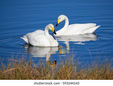 Two whooper swans swimming in the lake in Finland.