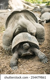 Two wild Aldabra giant tortoises of the Seychelles (Aldabrachelys gigantea or Geochelone gigantea) mating. La Digue, Seychelles