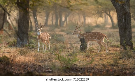 Two wild Axis deer, Chital, spotted deer males walking through indian misty dry forest. Axis in indian jungle illuminated by colorful early morning sun. Wildlife photography in Ranthambore, India.