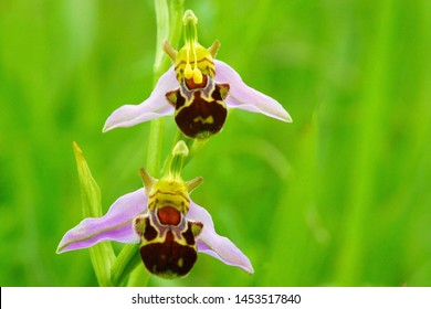 Two Wild Bee Orchid, Ophrys apifera, soft focus and diffused background, this is a perennial of dry grasslands mainly on calcareous soils, Juniper Hill, The Cotswolds, Gloucestershire, UK