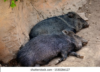 two wild boar on the floor