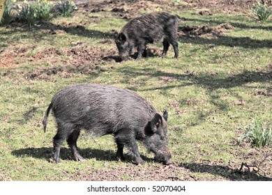 Two wild boar sniffing for roots