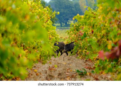Two wild boar in the vineyards.