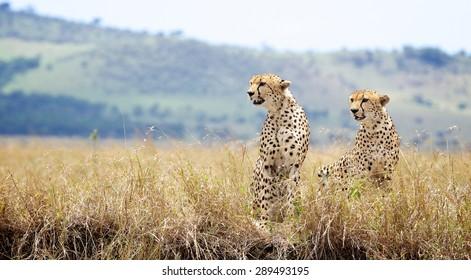 Two wild cheetahs