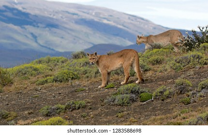 Two wild Cougars (Puma concolor concolor) in Torres del Paine national park in Chile.